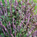 Ocimum Basilicum 'Magic Mountain'