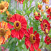 Helenium 'Moerheim Beauty'