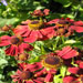Helenium 'Potters Wheel'
