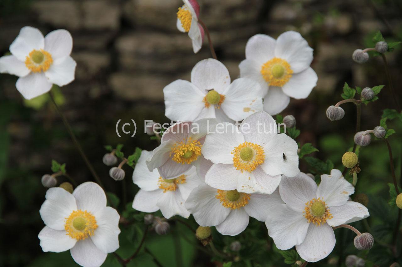 anemone japonica on pinterest anemones gardens and. Black Bedroom Furniture Sets. Home Design Ideas