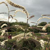 Actaea atropurpurea 'Queen of Sheba'