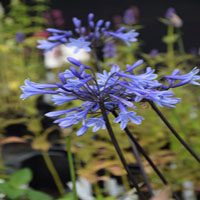 Agapanthus 'Dr. Brouwer'