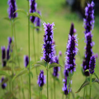Agastache 'Black Adder' (dropplant)