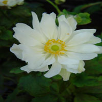 Anemone japonica 'Whirlwind' (herfst anemoon)