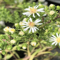 Aster ericoides 'Snow Flurry'