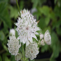 Astrantia major 'Superstar'