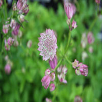 Astrantia major 'Buckland' (zeeuws knoopje)