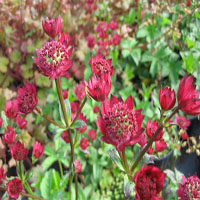 Astrantia major 'Claret' (zeeuws knoopje)