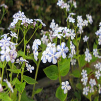 Brunnera macrophylla 'Jennifer'