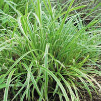 Carex morrowii 'Ice Dance' (zegge)