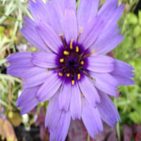 Catananche (blauwe strobloem)