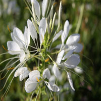 Cleome 'White Queen' (kattensnor)