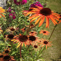 Echinacea 'Indian Summer'
