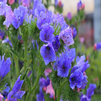 Echium plantagineum 'Blue Bedder'