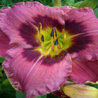 Hemerocallis 'Always Afternoon'