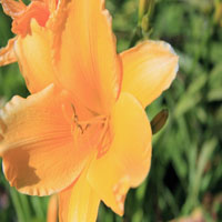 Hemerocallis 'Burning Daylight' (daglelie)