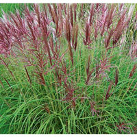 Miscanthus sinensis 'Red Chief'