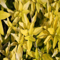 Origanum minutiflorum 'Norton's Gold'