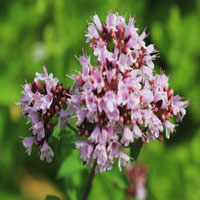 Origanum officinalis