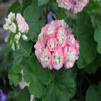 Pelargonium 'Apple Blossom Rosebud'
