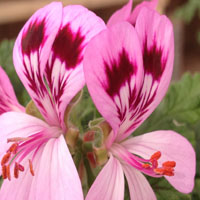 Pelargonium 'Pattons Unique'