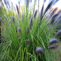 Pennisetum alopecuriodes 'Magic'