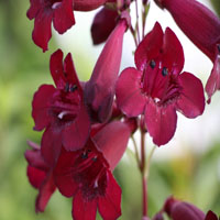 Penstemon 'Rich Ruby' (slangenkop)