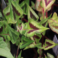 Persicaria microcephala 'Purple Fantasy'