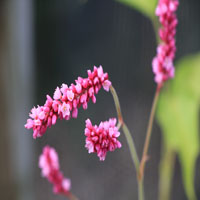 Persicaria orientale 'kiss me over the garden gate'