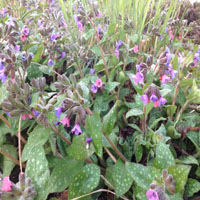 Pulmonaria saccharata 'Mrs. Moon' (longkruid)