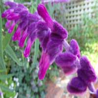 Salvia leucantha 'Purple Velvet'