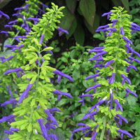 Salvia mexicana 'Limelight'