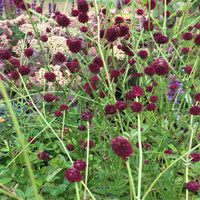 Sanguisorba officinalis 'Tanna' (pimpernel)